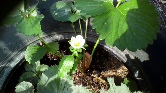 A single strawberry flower. Dare I hope?
